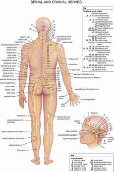 Chart Of Nerves In Back Dr Will Mccarthy S Science Site The Nervous System An