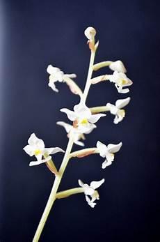 orchidee fiori appassiti le domande all esperto su orchidee