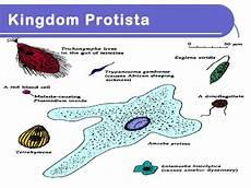 Protista Examples Kingdom Protista 1