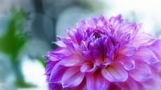 flower wallpaper hd dahlia delicate purple flower desktop wallpaper hd