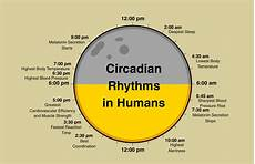 Circadian Rhythm Chart The Health Of Effects Of Night Shifts Healthy Perspectives