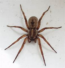Light Brown Spider Florida Introduction To Identifying Brown Spiders The Infinite