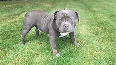 Bully Ear Crop Chart American Bully Kratos Big Old Dome And Floppy Ears Fan