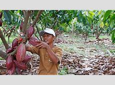 Indonesia Cocoa Production   Plantation   Development