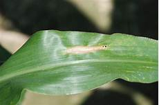Leaf Blight How To Tell Northern Corn Leaf Blight Apart From Urea Burn