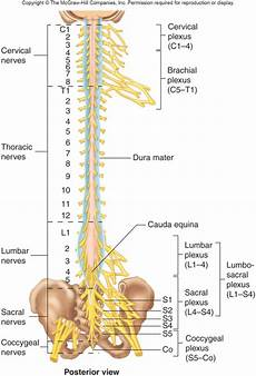 Chart Of Nerves In Back Anatomy Exam 3 Nervous System At Eastern Michigan