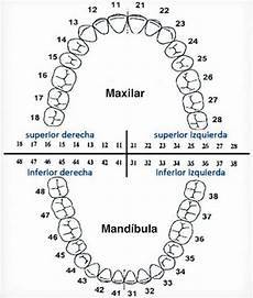 Tooth Number Chart Adults Tooth Chart