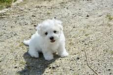 lille hund bildet valp dyr virveldyr petit maltese bichon