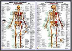 Full Body Anatomy Chart Major Muscle Attachments Anatomy Professional Fitness Wall