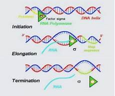 Transcription Biology Transcription Process Rna Types Eukaryotic