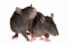 rat background free clipart with a transparent