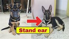 German Shepherd Ear Chart How To Stand Ear Of German Shepherd Youtube