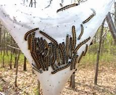 How To Treat Bagworms How To Get Rid Of Bagworms In Atlanta Ga Arbor Nomics