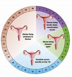 24 Day Menstrual Cycle Chart The Signs And Symptoms Of Ovulation
