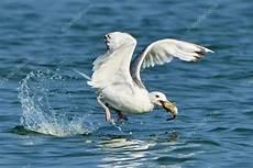 foto di gabbiano bianco gabbiano con pesce nel becco foto stock 169 vitolef