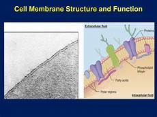 Membrane Structure And Function Ppt Cell Membrane Structure And Function Powerpoint