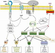 Light Receptors In Plants Plants Free Full Text Functions Of Calcium Dependent