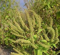 Ragweed Picture Ragweed And Fall Allergies The Birmingham Times