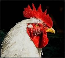 animale da cortile gallo foto immagini animali animali domestici e da