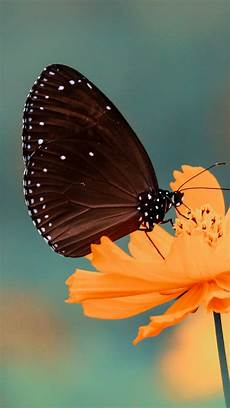 Butterfly Wallpaper For Iphone 6 Plus by Black Butterfly Iphone Wallpaper Idrop News