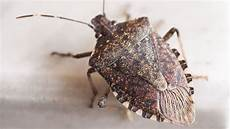 Brown Marmorated Stink Bug 12 Facts About The Brown Marmorated Stink Bug Mental Floss