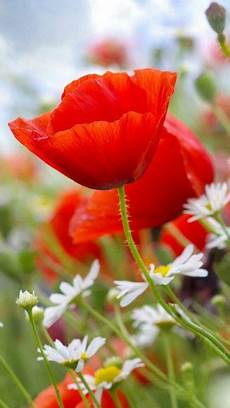 poppy flower wallpaper iphone poppies and daisies flowers flowers beautiful