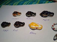 Ball Python Chart 17 Best Images About Ball Pythons On Pinterest Cas