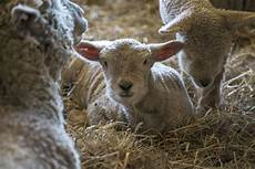 Newborn Lamb At Uconn March Comes In Like A Lamb Uconn Today
