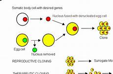 Somatic Cell Nuclear Transfer Somatic Cell Nuclear Transfer Wiki Everipedia