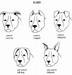 Bully Ear Crop Chart Blue Rising Star Ast
