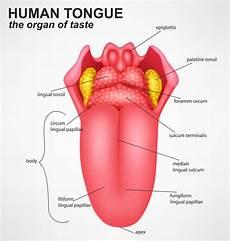 Tongue Anatomy Foramen Cecum Of Tongue Anatomy Significance