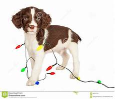 Baby Wrapped In Christmas Lights Photo Puppy Wrapped In Christmas Lights Stock Image Image Of