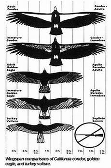 Bird Wingspan Chart Vultures On Pinterest Birds Of Prey Turkey And Raptors