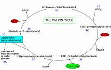Does The Calvin Cycle Require Light Biology Hypertextbook