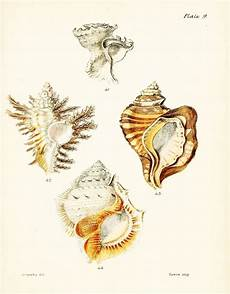 Printable Pictures Of Seashells Free Printable Seashell Art Simply Made By