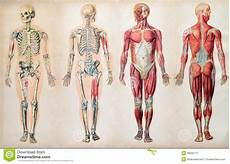 Full Body Anatomy Chart Old Vintage Anatomy Charts Of The Human Body Stock Image