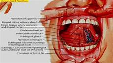 Tongue Anatomy Git Anatomy Mouth Salivary Glands And Muscles Of The