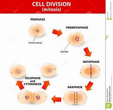 Cell Processes Mitosis Process Cell Division Stock Photography Image