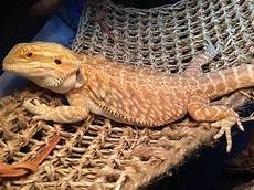 Bearded Dragon Color Chart Here S How To Care For Your Beloved Bearded Dragon The