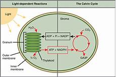Does The Calvin Cycle Require Light Overview Of Photosynthesis Boundless Biology