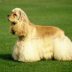 American Cocker Spaniel Size Chart American Cocker Spaniel Breed Guide Learn About The