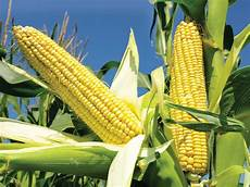 What Is Corn Made Of Corn History Cultivation Uses Amp Description Britannica