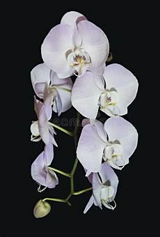 Light Pink Phalaenopsis Orchid Beautiful Raceme Of Light Pink Phalaenopsis Orchid Flowers