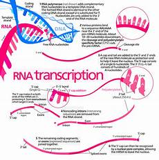 Transcription Biology Transcription Biology Wikipedia