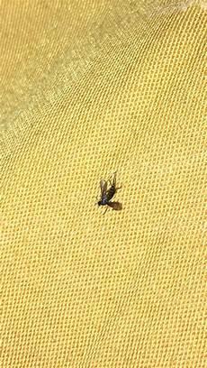 Little Black Flies Tiny Little Black Flies In My Bedroom And My Living Room