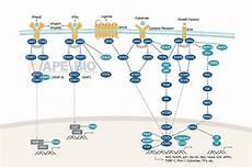 Jak Stat Pathway Apexbio Jak Stat Signaling Signaling Pathways