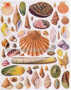Shellfish Chart Beautiful Shells Of The World Lithograph Chart 1928 Flickr