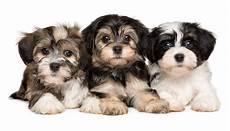 lille hund raceportr 230 tter hunde