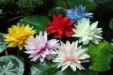 Flor De Lotus Flor De L 243 Tus Significado Curiosidades Do Jap 227 O