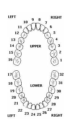 tooth numbering pin by sanders on arts facial teeth